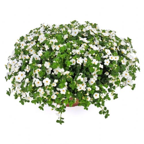 Bacopa Giant White
